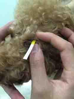 犬葡萄膜炎治疗前后